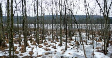 Winter view of swamp with ice and sedge tussocks.