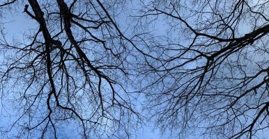 view looking up into branches of trees without leaves, with a blue sky.
